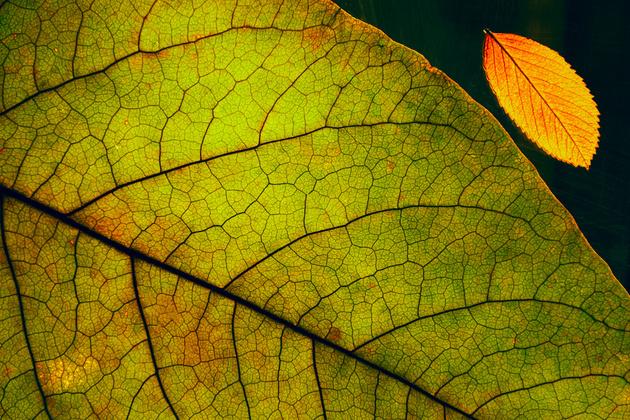 Фотографируем листья на просвет