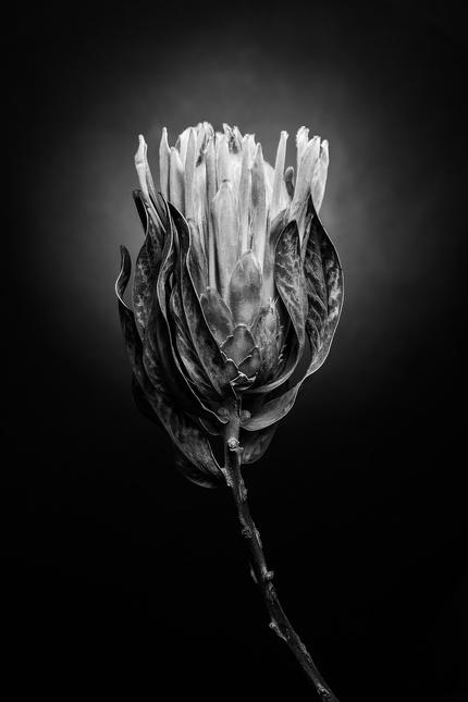 Цветы в оттенках серого. Минимализм