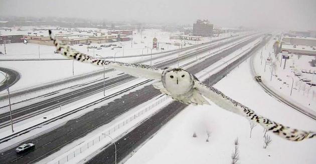 Уникальные снимки полярной совы, сделанные... автоматической дорожной камерой