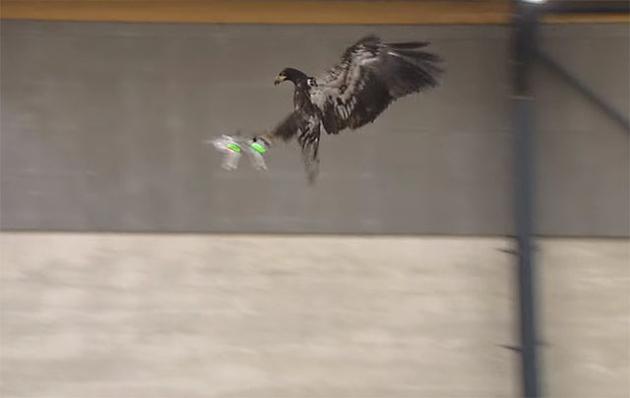 Голландская полиция обучает орлов ловить дроны прямо в воздухе