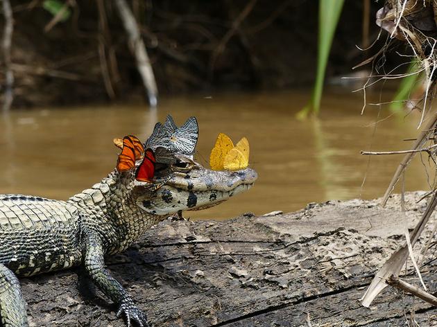Фото дня: кайман в «короне» из бабочек