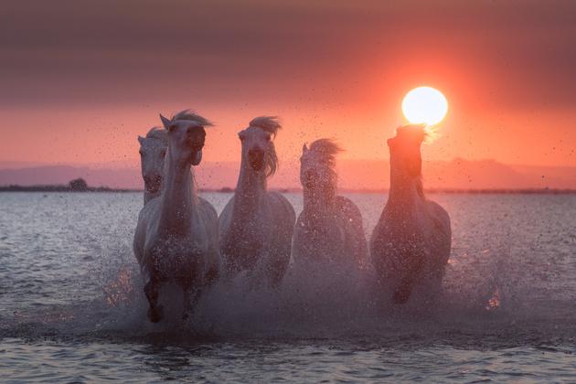 Белые лошади Камарга