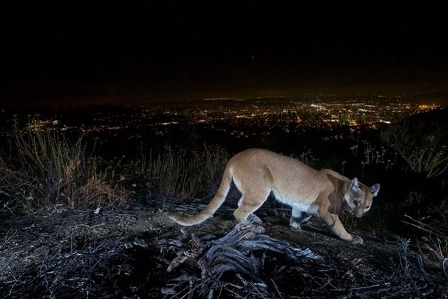 Автоматическая камера зафиксировала пуму на фоне ночного города
