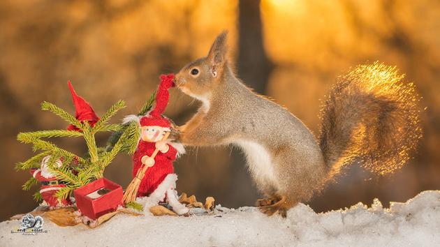 Рождественские белки на снимках Гирта Веггена