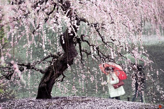 Цветущая сакура Хиденобу Сузуки