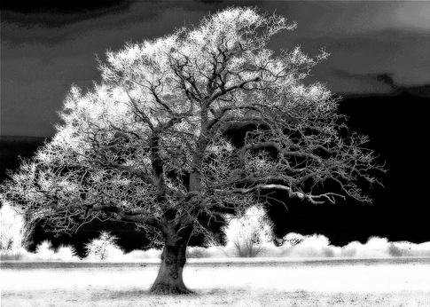 Oak Tree (Infra Red) © 60601862@N00