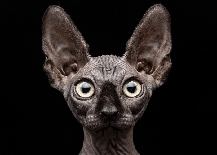 © Sphynx Cat by Patrick Matte