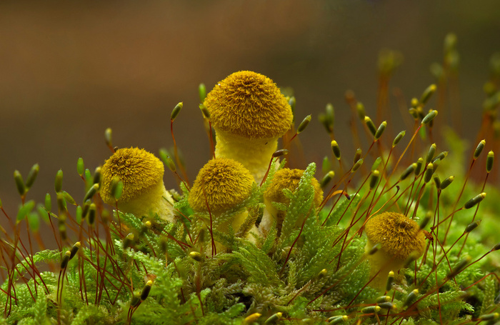 Armillaria cepistipes © Richard Bond