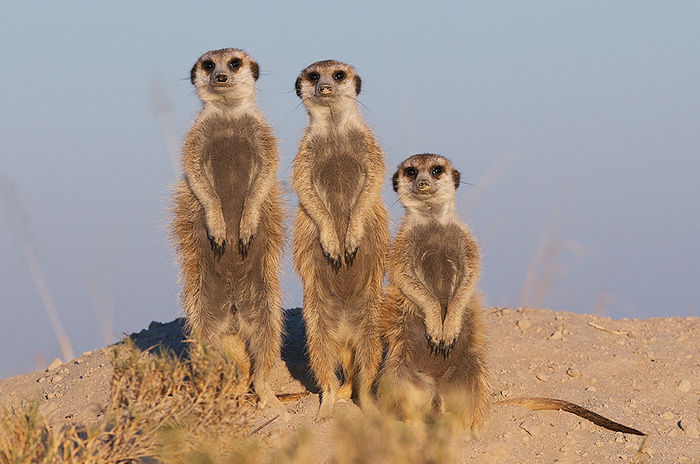 Meerkat Family Portrait © Sean Crane