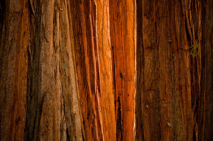 Sequoia Light. Sequoia National Park, California, USA