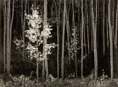 Ansel Adams Aspens, Northern New Mexico, 1958