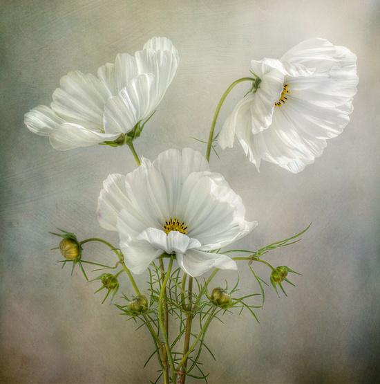 Cosmos Charm © Mandy Disher