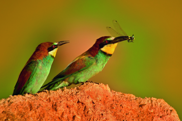Zdenek Pachovsky, Will you give me a piece ?, Bee-Eater (Merops apiaster)