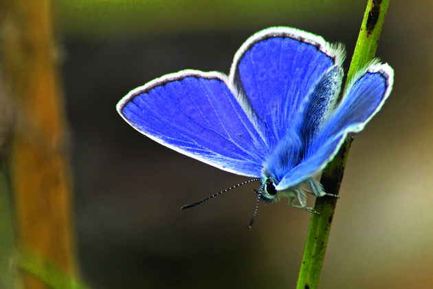 Gudrun Kaufmann, Beauty in blue, Common Blue (Polyommatus icarus)