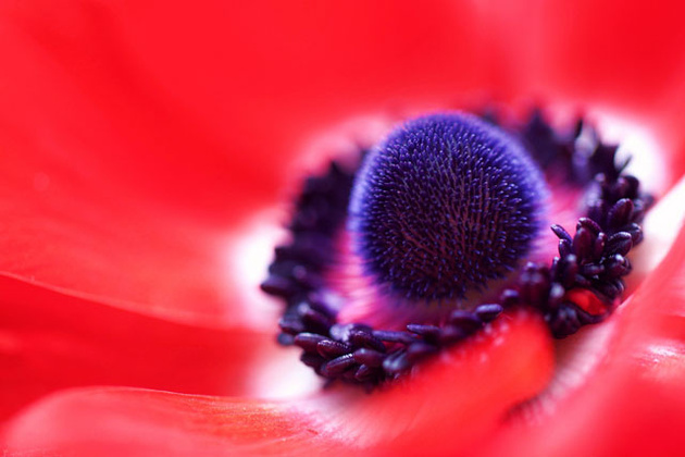 Red Anemone © Jacob Edmiston
