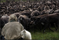 «A Nenets tribesman sits in front of a herd of reindeers on the Yamal peninsula, north of the polar circle» © Денис Синяков