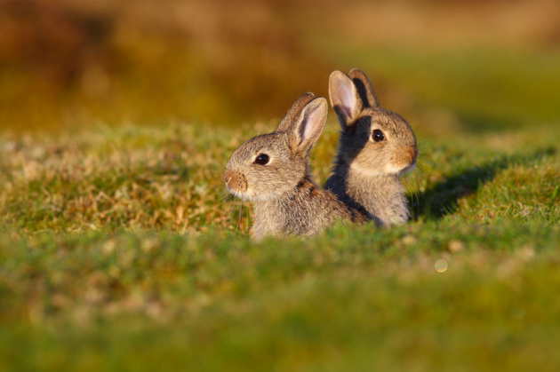 Rabbit Kits © Simon Roy