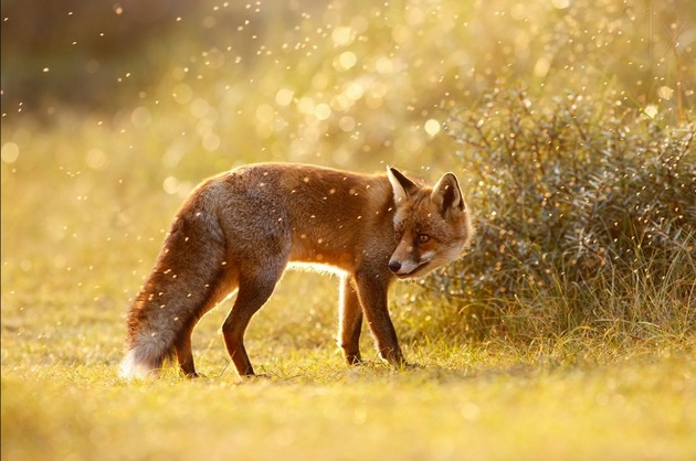 The Fox © Roeselien Raimond