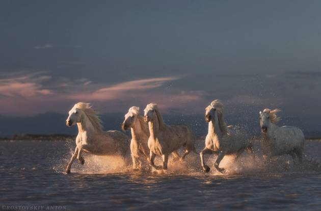 White horses at sunset  Camargue  France © Anton Rostovskiy