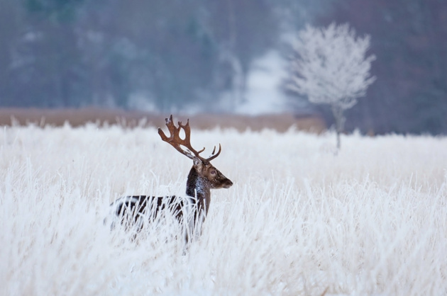 Fallow deer in the frozen winter landscape © Allan Wallberg
