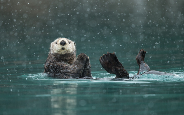 Sea Otter in heavy snow © Greg Schneider