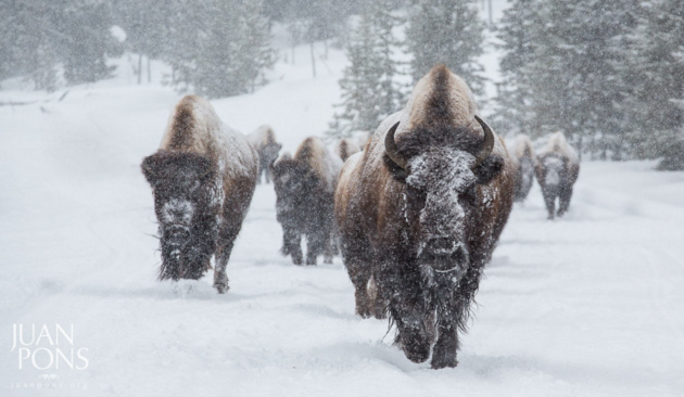 Snowy Bison. Yellowstone National Park © Juan Pons