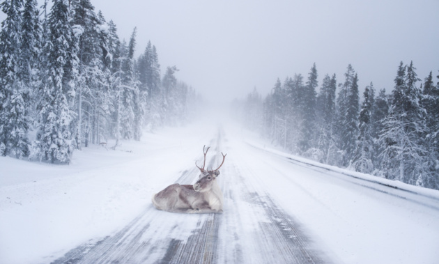 Reindeer heating up © Konsta Punkka