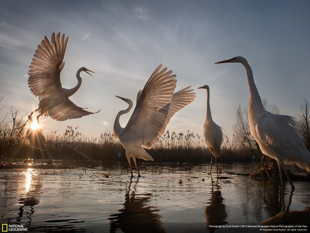 Changing Fortunes of the Great Egret Photo and caption by Zsolt Kudich