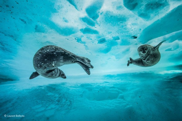 Фото: Laurent Ballesta / Wildlife Photographer of the Year