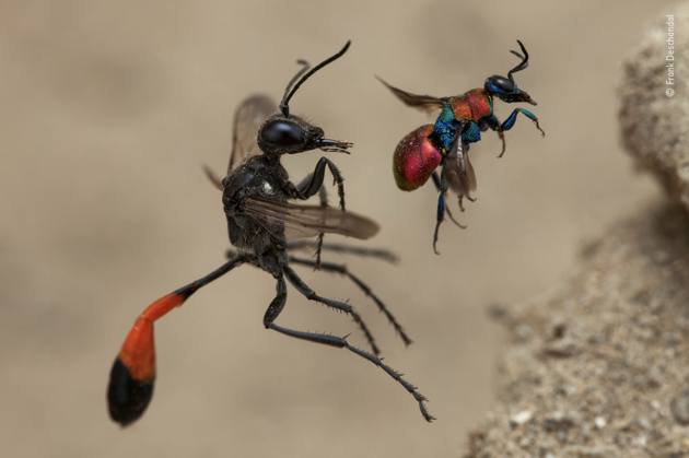 A tale of two wasps by Frank Deschandol, France Winner 2020, Behaviour: Invertebrates